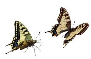 papillon-300x197